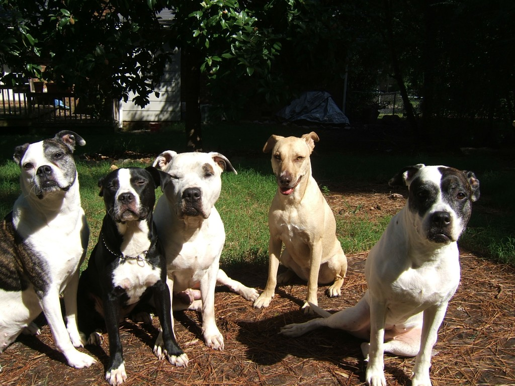 American Bulldogs - Pitbull - Pack of dogs