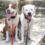 Pitbulls and DNA Tests